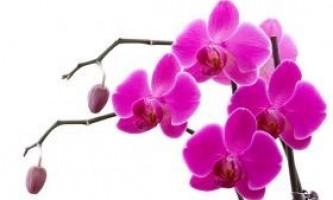 Домашні орхідеї: правила догляду