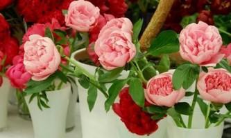 Домашні троянди в горщиках: як правильно підготувати до зими