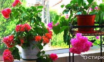Домашній сад: ідеї оформлення балкона квітами