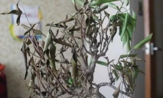 Фікус бенджаміна скидає листя: що робити? Причина