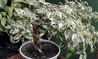 Фікус бенджаміна: вирощуємо розкішне деревце