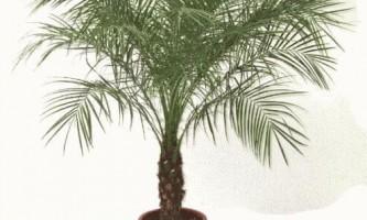Фінікова пальма в домашніх умовах - фото і відео