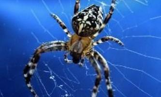 Де у павука знаходиться мозок?