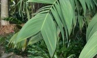 Геонома: правила утримання і розмноження кольчатой пальми