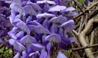 Гліцинія, догляд і вирощування