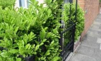 Гризелінія: вирощування в кімнаті і у відкритому грунті