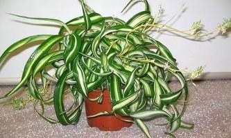 Хлорофітум: правила вирощування та догляду