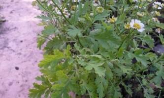 Хризантеми, посадка і догляд