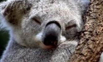 І коали можуть плавати