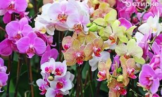 Вишукана орхідея: догляд за рослиною