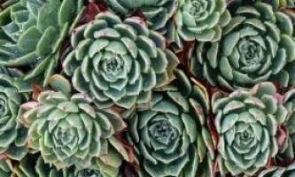 Ехеверія: види, зміст і рекомендації по догляду
