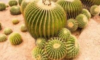 Ехинокактус або єжова кактус: види і вирощування