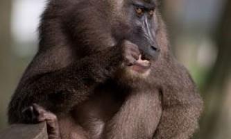 Екзотичні мавпи дуже чутливі до клімату