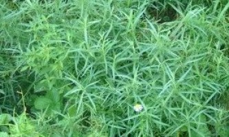 Естрагон - посадка, вирощування, догляд