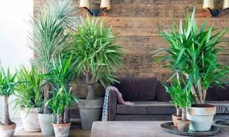 Юкка: універсальна рослина з поступливим характером
