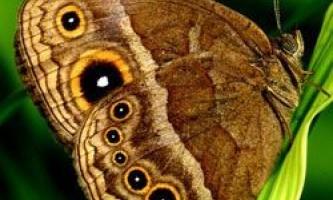 Як метелики вибирають шлюбних партнерів?