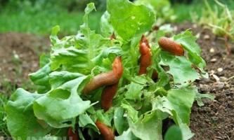 Як боротися з равликами в городі?