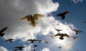 Як голуби відчувають магнітне поле землі?