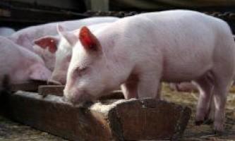 Як і чим годувати домашніх поросят і свиноматок?