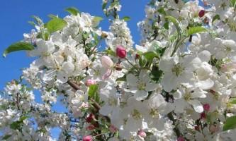 Як і чим обприскувати яблуні навесні, влітку і восени