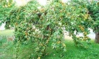 Як з кісточки виростити абрикос? Відео