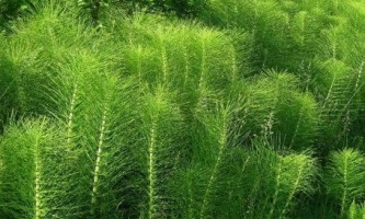 Як позбутися від хвоща польового на дачній ділянці і городі?