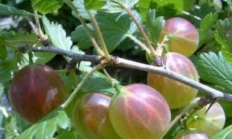 Як позбутися від борошнистої роси на агрус?