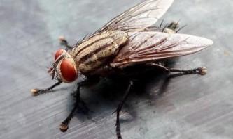Як позбутися від мух в квартирі?