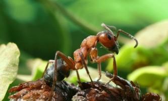 Як позбутися від мурашок на дачній ділянці?