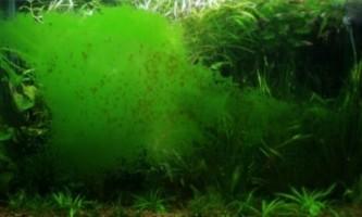 Як позбутися від зеленого нальоту на стінках акваріума?