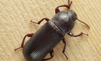 Як позбутися від жука-короеда в будинку?