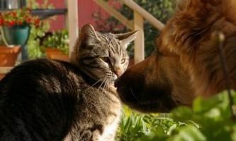 Як налагодити взаємини між кішкою і собакою
