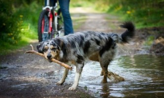 Як навчити собаку приносити палицю?