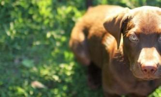 Як навчити собаку виконувати команду «голос»
