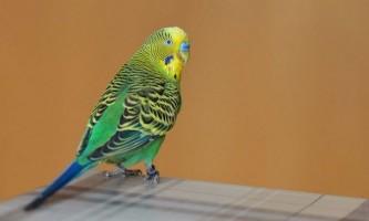 Як визначити вік хвилястого папугу