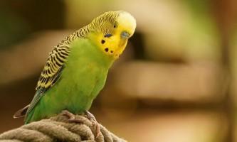 Як вибрати клітку для папуги та облаштувати її