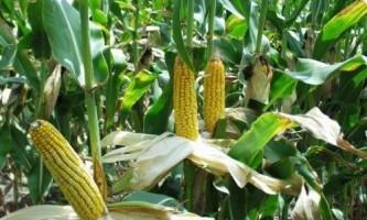 Як відрізнити кормову кукурудзу від харчової?