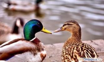 Як відрізнити качку від селезня?