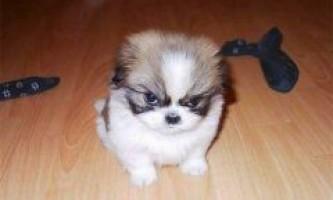 Як відучити щеняти гризти меблі