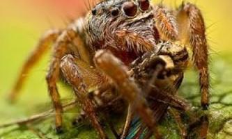 """Як павуки-вампіри вибирають """"кривавих"""" жертв?"""