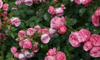 Як пересадити трояндовий кущ