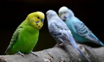 Як спіймати відлетів папуги
