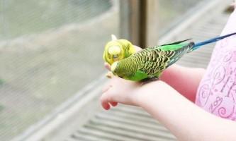 Як папуги навчити розмовляти