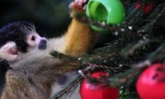 Як правильно прикрашати ялинку в рік вогняної мавпи 2016