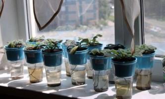Як правильно поливати фіалки і доглядати за ними?