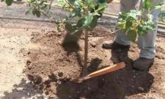 Як правильно посадити яблуню восени