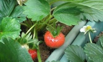 Як правильно посадити полуницю восени