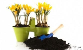 Як правильно посадити крокуси восени