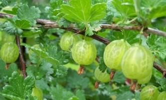 Як правильно посадити аґрус восени