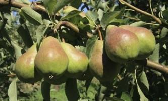 Як правильно посадити саджанець груші
